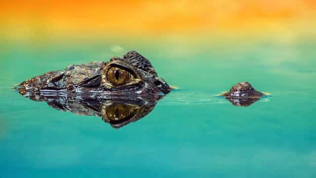 Phân biệt Crocodile và Alligator